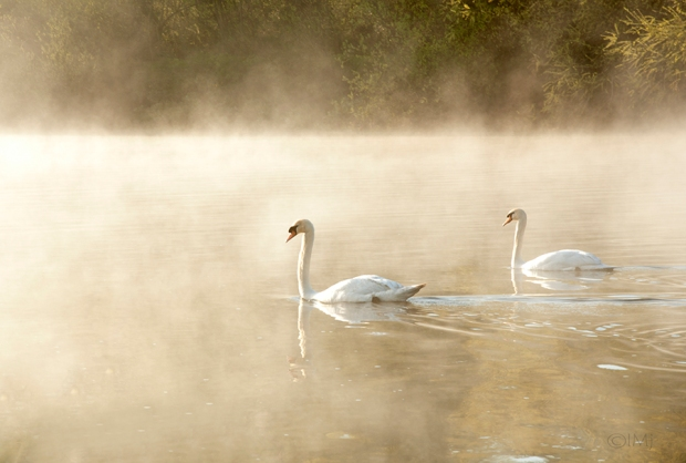 swans_in_the_haze1