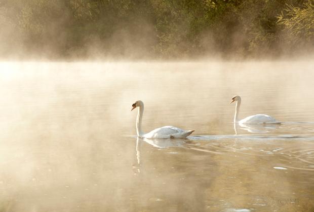 swans_in_the_haze1