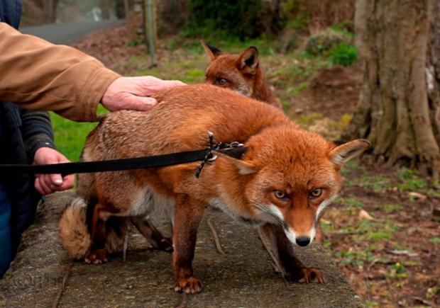 Fox_Grainne