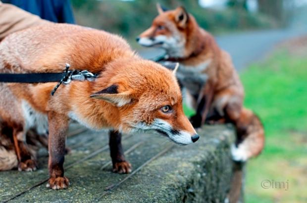 Pet_foxes