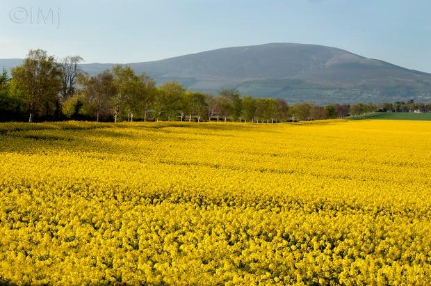 landscape_rapeflowers