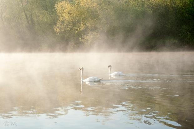 swans_in_the_haze