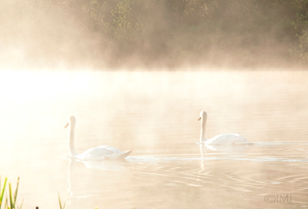 swans_in_the_haze2