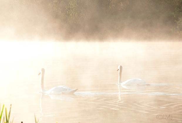 swans_in_the_haze2