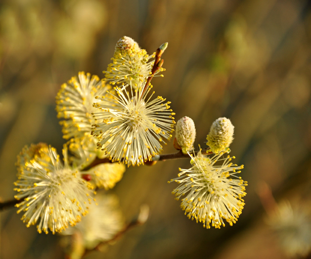 spring_catkins