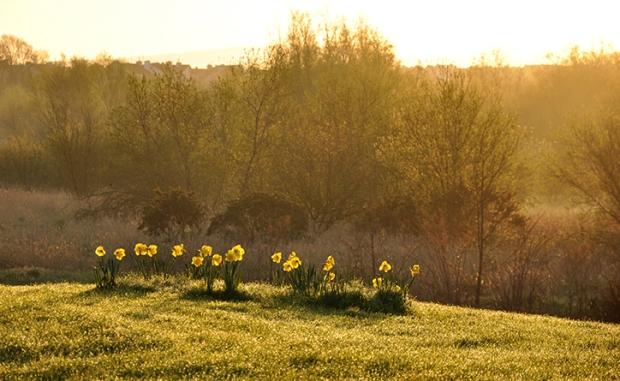 ireland_daffodils