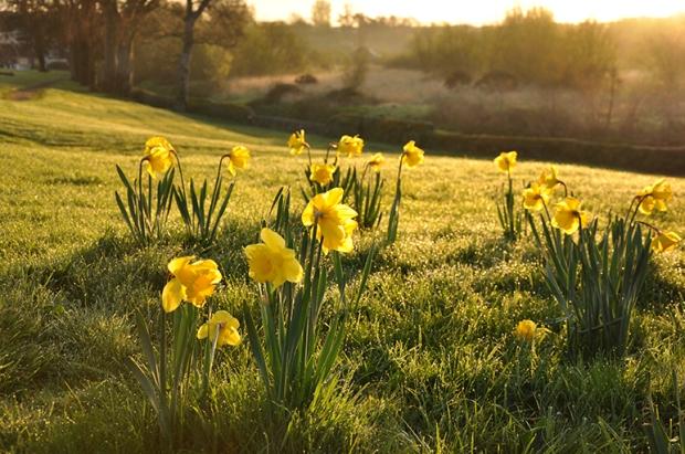 ireland_daffodils1