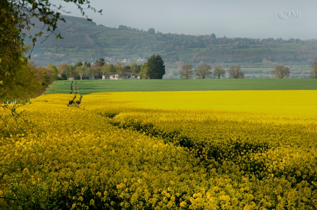 rapeseed_field_picture