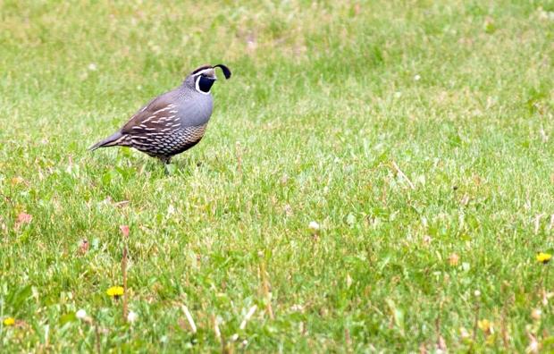 california_quail