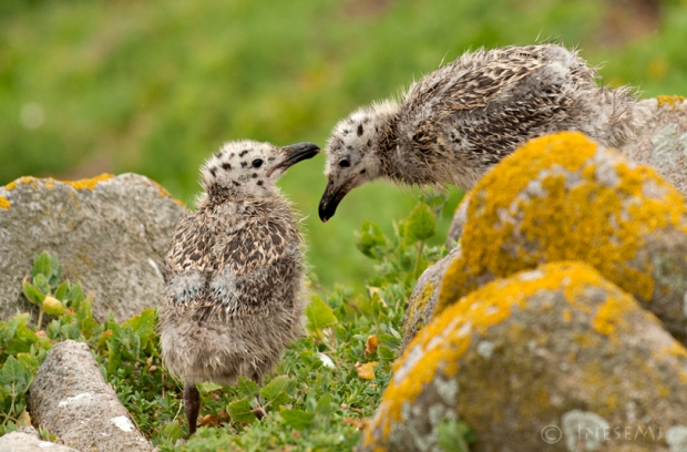 great blackback gull chicks