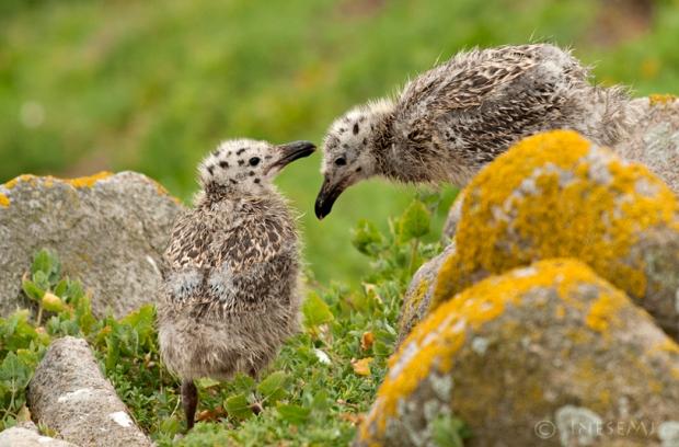 great blackback gull chicks