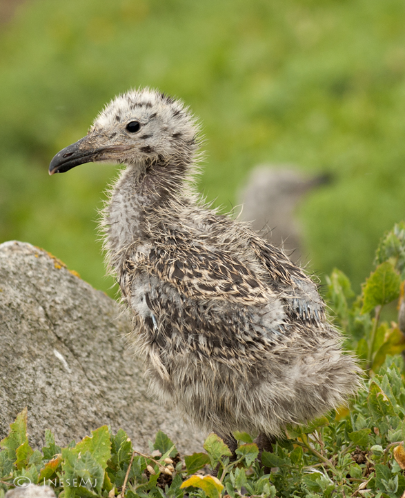 great blackback gull chick
