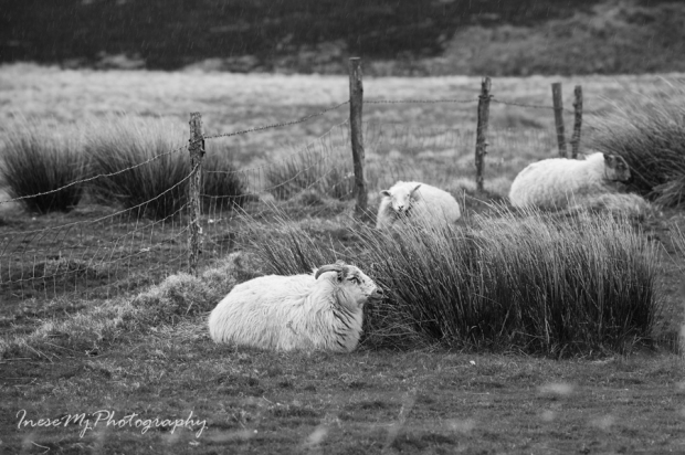 sheepres