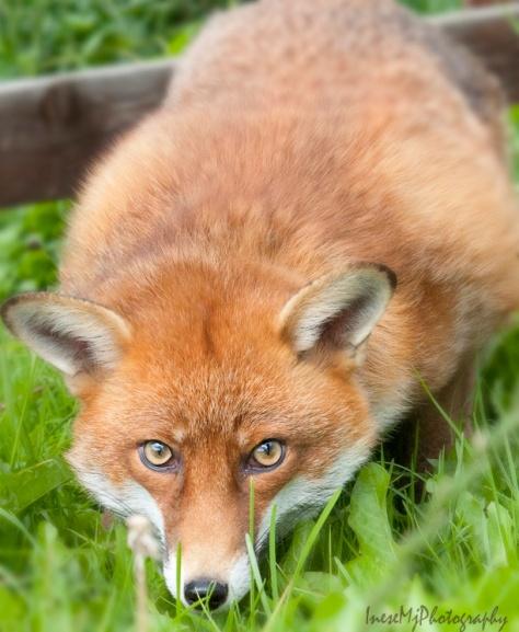 fox1 291gauss