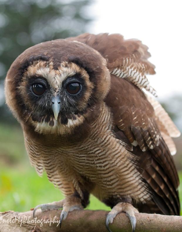 peanut owl 2 351ares