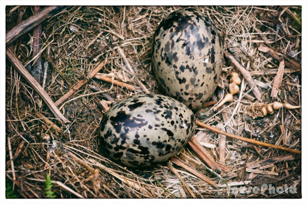 sea gull eggs