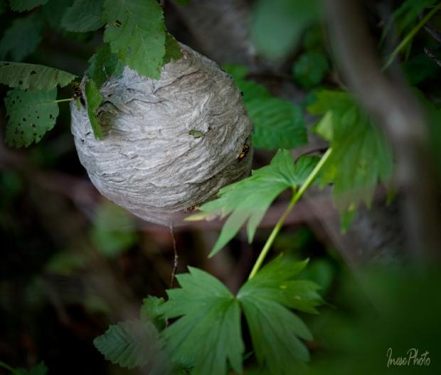 wasp nest