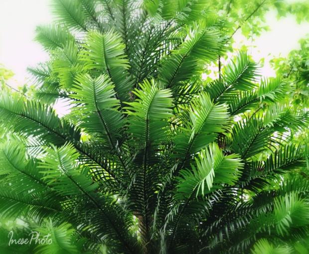 wollemi_pine