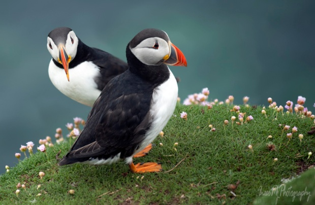 Great Saltee Puffin