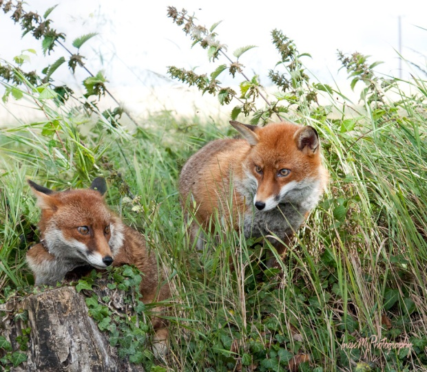 Pat and his foxes