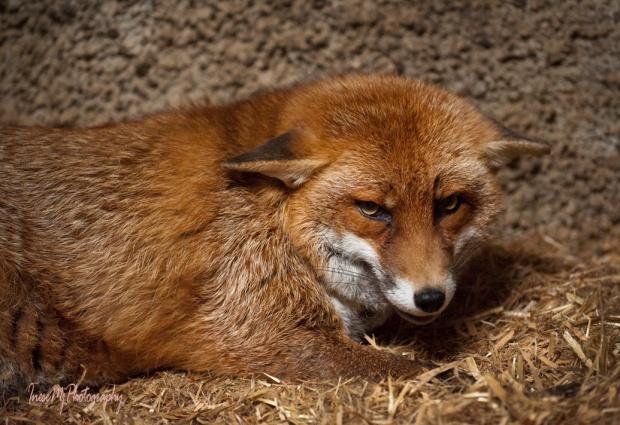 Minnie the Fox
